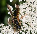 Wasp ID Request - Myzinum quinquecinctum - female