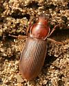 Reddish Beetle - Harpalus erraticus