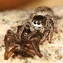 Jumper eating another spider - Habronattus