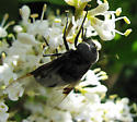 Large Black Fly - Copestylum mexicanum