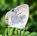 Eastern Tailed-Blue - Cupido comyntas - female