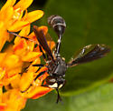 Fly (Bee Mimic) on Butterfly Weed - Physocephala tibialis