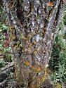 Douglas-fir beetle (Dendroctonus pseudotsugae) frass - Dendroctonus pseudotsugae