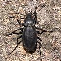 Giant Beetle - Carabus taedatus