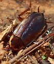 Pennsylvania Wood Cockroach - Parcoblatta pennsylvanica