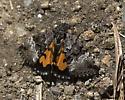 Moth - Annaphila
