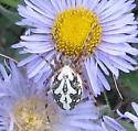 Spider at Kenosa pass - Aculepeira packardi