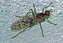 Brownish fly - Boreothrinax maculipennis