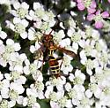 Small wasp in yarrow - Polistes dorsalis - female