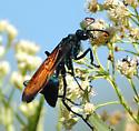 Tarantula Hawk - Pepsis mildei