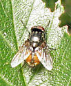 Tachinid fly - Musca autumnalis