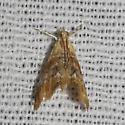Julia's Dicymolomia Moth - Hodges#4889 - Dicymolomia julianalis