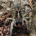 large spider - Tigrosa georgicola