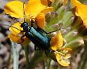 Green Blister Beetle? - Lytta stygica