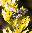 Red-eyed black fly