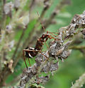 ant-mimic bug on lead plant - Alydus