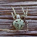 Pretty Colored Spider - Eustala anastera
