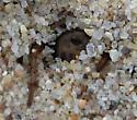 Lutica burrowing 2 - Lutica