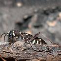 Spruce Zebra Beetle - Xylotrechus undulatus