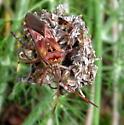 Largid? Leaf-footed?  - Leptoglossus occidentalis