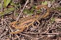Unknown Scorpion 3428 - Centruroides vittatus