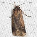 Subterranean Dart Moth - Hodges #10664 - Feltia subterranea