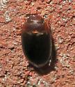 Copelatus glyphicus? - Copelatus