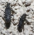 small black - gray spotted beetles - Duboisius arizonensis