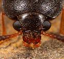 Coleoptera - Mycetophagus serrulatus