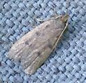 Very small moth