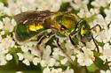 Green Metallic Sweat Bee - Augochlorella aurata - female