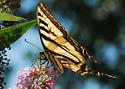 Western Tiger Swallowtail - Papilio rutulus - female