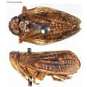 Pinned Specimen - Thionia quinquata