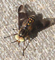 Deer Fly - Chrysops - male