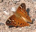 butterfly, emperor sp ? - Asterocampa leilia