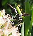 Thick-headed fly? - Physocephala tibialis