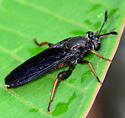 mydas fly - Phyllomydas