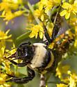 Bombus fraternus - female