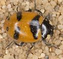 Hippodamia glacialis lecontei - Hippodamia glacialis