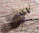 Small & Fast Samurai Fly - sword antennae, long arista, green eyes, brown femorae; gray