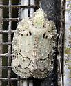 Screen-dwelling Flatoidinae - Flataloides scabrosus