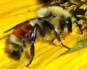 Bumblee Bee - Bombus huntii - male