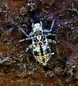 Insect ID - Metylophorus novaescotiae