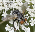 Another Fly on Queen Anne's Lace - Gymnoclytia occidua - female