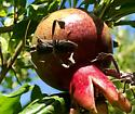 Big unknown bugs - Leptoglossus zonatus - male - female