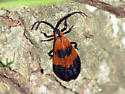 Banded Net-wing - Calopteron reticulatum
