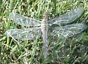 Female - Newly Eclosed - Plathemis lydia - female