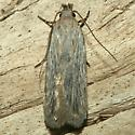 Moth - Filatima striatella