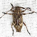 Long-Horned Beetle - Nyssodrysina haldemani