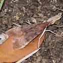 unknown brown moth - Uresiphita reversalis
